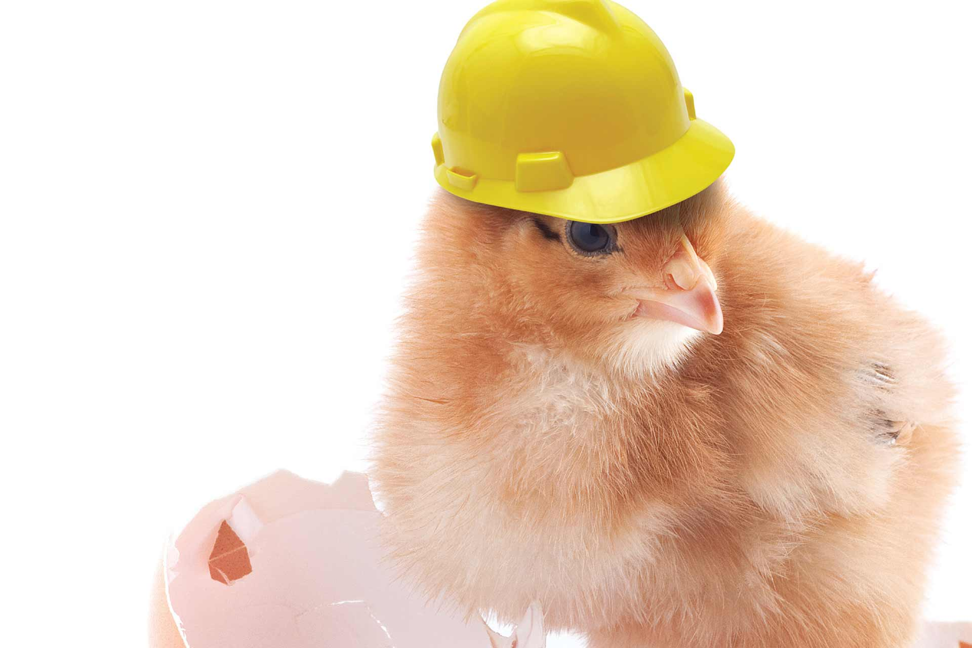 Briggs Equipment Health and Safety Chicken